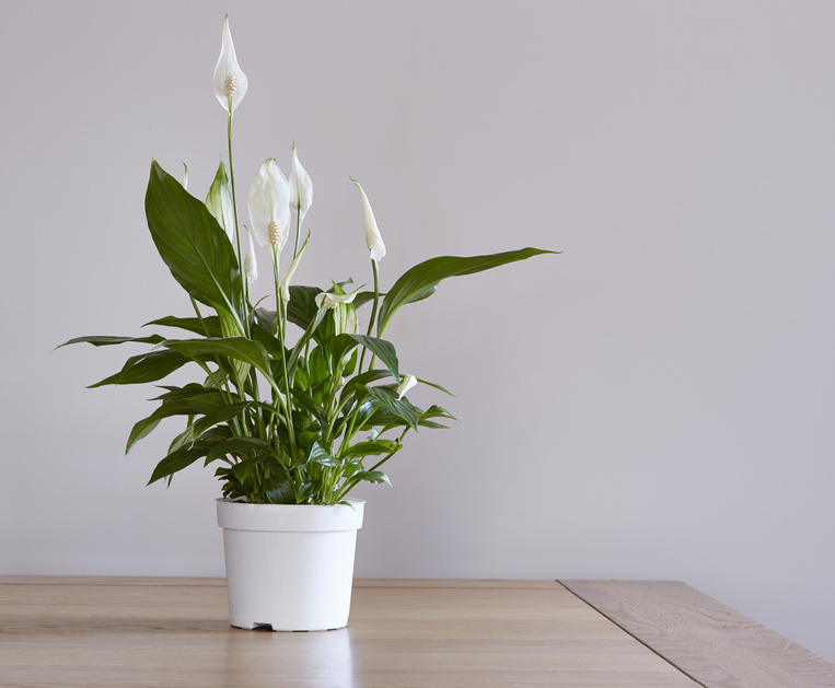 Plants that help you sleep - Peace Lily