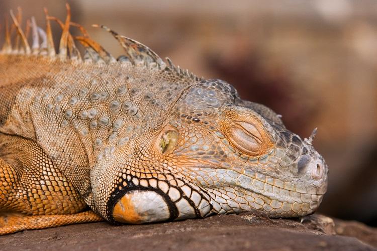 orange iguana sleeping