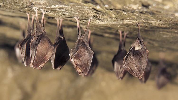 brown bats sleeping upside down