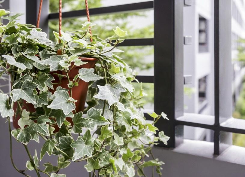 Plants that help you sleep - English Ivy