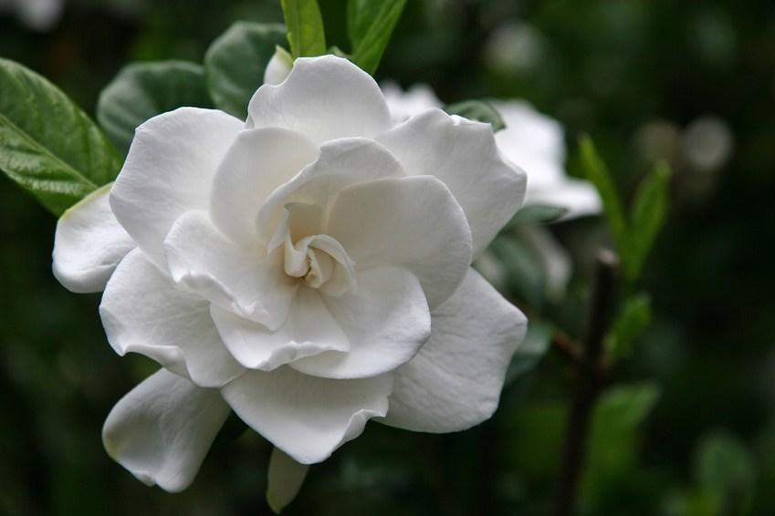 Plants that help you sleep - Gardenia