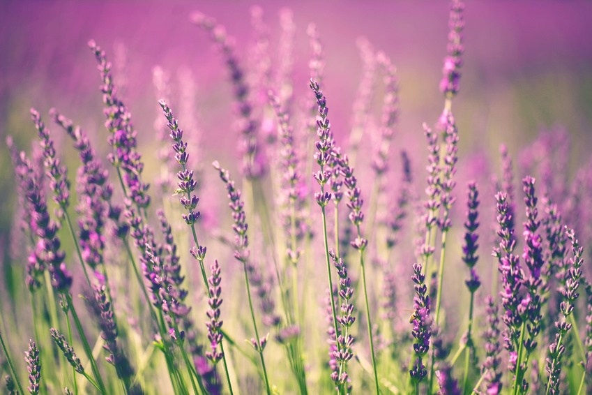 Plants that help you sleep - Lavender